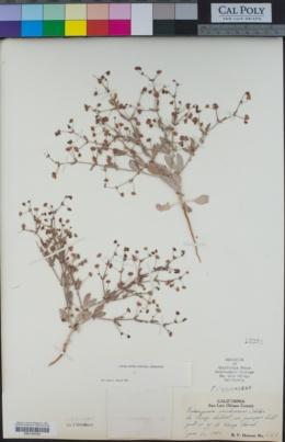 Eriogonum viridescens image