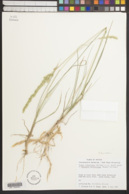 Elymus lanceolatus image