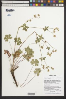 Geranium caespitosum image