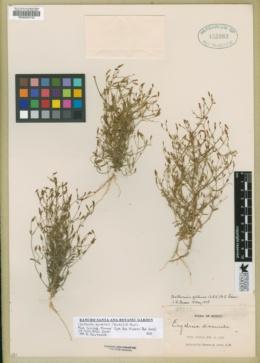 Image of Zeltnera quitensis