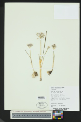 Allium macropetalum image
