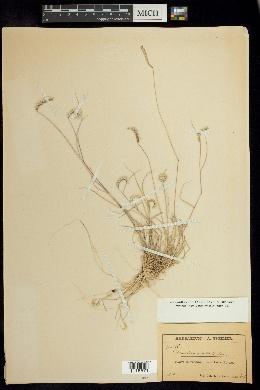 Chondrosum simplex image