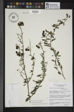 Image of Solanum gonocladum