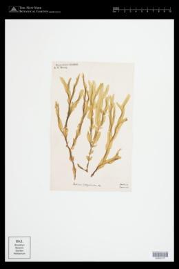 Haliseris polypodioides image