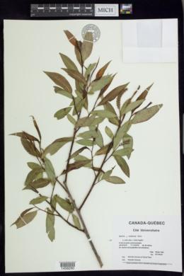Image of Salix × rubens