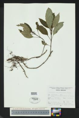 Image of Hoffmannia orizabensis