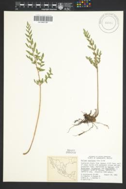 Image of Pellaea sagittata