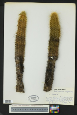 Image of Echinocereus longisetus