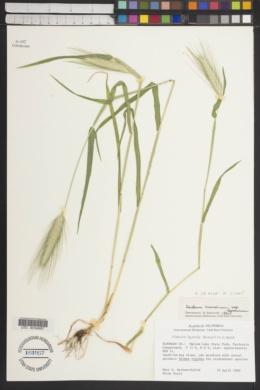 Hordeum murinum subsp. leporinum image