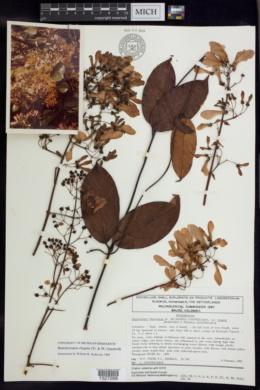 Image of Banisteriopsis elegans