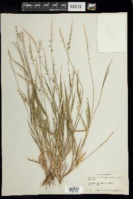 Setariopsis auriculata image