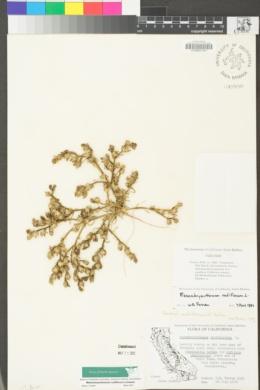 Mesembryanthemum nodiflorum image