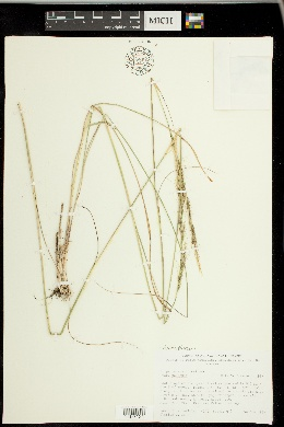 Achnatherum nelsonii image