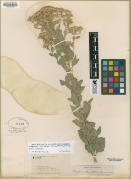 Ageratina thyrsiflora image
