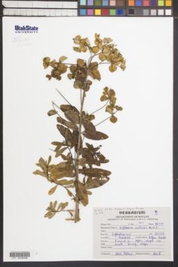 Image of Euphorbia wallichii