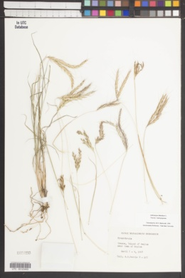 Image of Andropogon distachyos