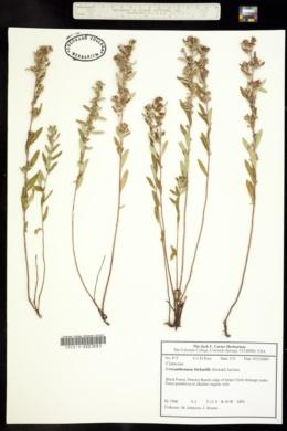 Crocanthemum bicknellii image