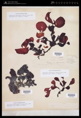 Opuntiella californica image