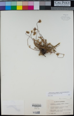 Ivesia gordonii image