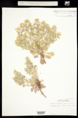Physaria australis image