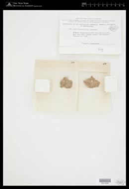 Jania micrarthrodia image