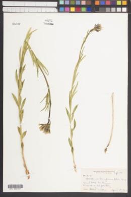 Image of Amsonia arizonica