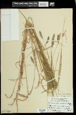 Muhlenbergia glomerata image