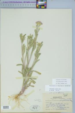 Townsendia eximia image