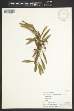 Image of Olea africana