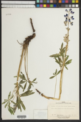 Image of Lupinus relictus