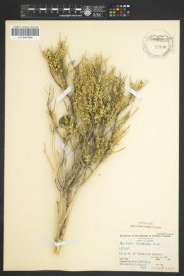 Mortonia scabrella image