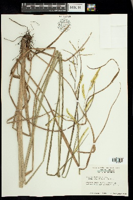 Image of Paspalum lentiferum