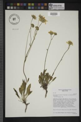 Platyschkuhria integrifolia var. desertorum image