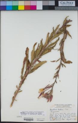 Oenothera elata subsp. hookeri image