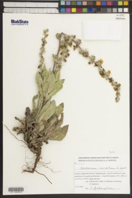 Image of Verbascum saccatum