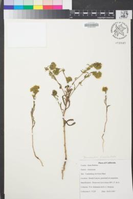 Image of Deinandra fasciculata