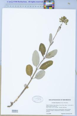 Asclepias hypoleuca image