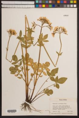 Valeriana sitchensis image