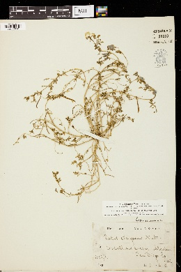 Lotus strigosus image