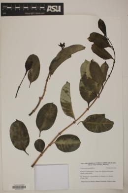Image of Cryptostegia grandiflora