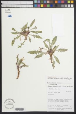 Image of Oenothera murdockii