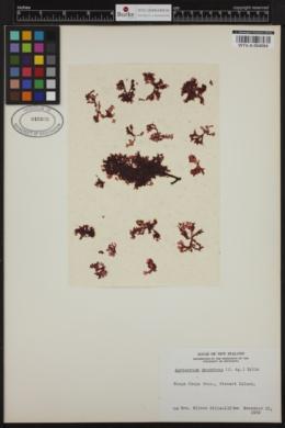Acrosorium decumbens image