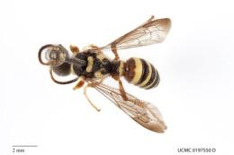 Image of Cerceris squamulifera