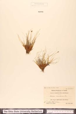Carex nardina image