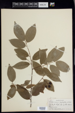 Image of Prunus myrtifolia
