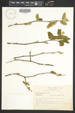 Image of Croton axillaris