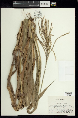 Image of Paspalum acutum