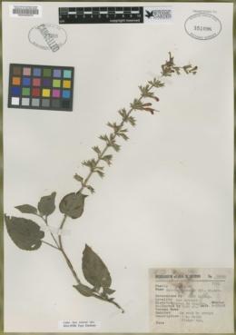 Image of Salvia palealis