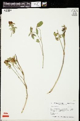 Image of Trifolium ambiguum