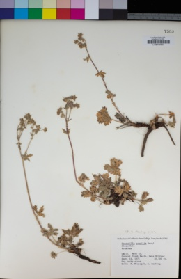 Image of Potentilla gracilis